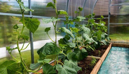 きゅうりを栽培してみよう!【家庭菜園栽培マニュアル】