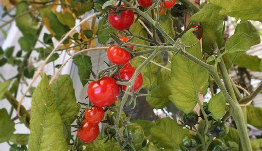 ミニトマトを栽培してみよう!【家庭菜園マニュアル】